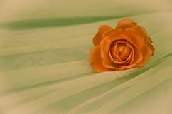 Orange rose. Filtered orange rose over white background royalty free stock image