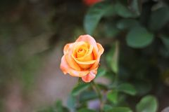 Orange Rose Flowerâ-€ ‹ stockbild