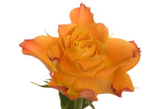 Orange rose flower Royalty Free Stock Images