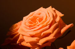 Orange rose flower Royalty Free Stock Photos