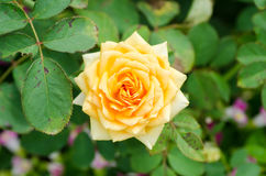 Orange rose flower. Blossom in a garden royalty free stock photo