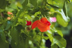 Orange rose flower with bud in summer garden. Sunny day Royalty Free Stock Photography