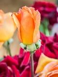Orange rose flower Royalty Free Stock Photography