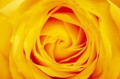 Orange rose flower. Close up of orange rose flower background royalty free stock photography