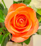 Orange rose flower, close up, floral texture, yellow background. Royalty Free Stock Images