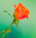 Orange rose flower, close up, isolated, green background Stock Image