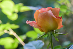 Orange rose flower close-up photo with shallow depth of field, drops of water royalty free stock photo