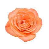 Orange rose flower, close up, white background Royalty Free Stock Photos