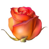 Orange Rose Flower . EPS 10 Stock Photo