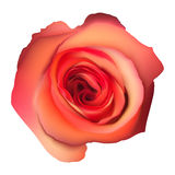 Orange Rose Flower . EPS 10 Stock Images