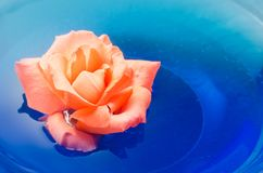 Orange rose flower floating on blue water in a glass bowl Stock Images