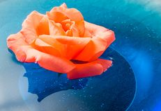 Orange rose flower floating on blue water in a glass bowl Royalty Free Stock Photo