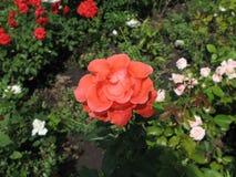 Orange rose. Flower of orange rose on the flowerbed stock images
