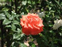 Orange rose. Flower of orange rose on the flowerbed stock photo