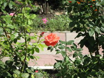 Orange rose. Flower of orange rose on the flowerbed royalty free stock photos