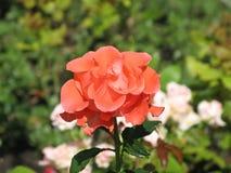 Orange rose. Flower of orange rose on the flowerbed royalty free stock photography
