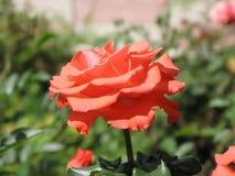 Orange rose. Flower of orange rose on the flowerbed stock photography