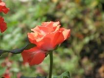 Orange rose. Flower of orange rose on the flowerbed stock image