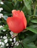 Orange rose flower and foliage for gift. Used in flower arrangements, flower petals of colours, botany and decoration for gardens, flora and nature Royalty Free Stock Photo