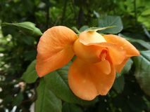 Orange rose flower and foliage. Symbol of love, growth and spring stock photography