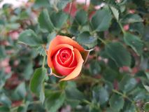 Orange rose flower in garden. Flower of thorny shrub, used in floral arrangements, ornamental plant with fragrance, ingredient by essence in oil for medicinal Royalty Free Stock Photography