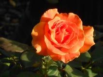 Orange Rose. Flower garden home stock photos