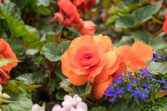 Orange rose flower in the garden with other in background. Flowers with blur in background stock photography