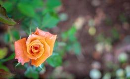 Orange rose in the garden, right space. Orange rose flower in the garden, right space royalty free stock photography