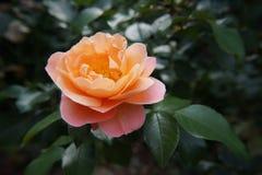 Orange rose. Flower orange rose garden summer royalty free stock images