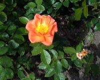 Orange rose flower on green foliage Stock Images