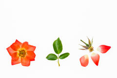 Orange rose flower head and petals on white background Stock Image