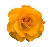 Orange rose flower macro isolated Royalty Free Stock Photo