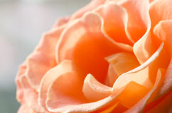 Orange rose flower macro Stock Images