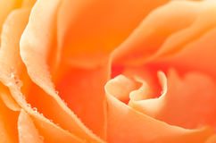Orange rose flower macro Royalty Free Stock Photos