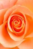 Orange rose flower Stock Photo