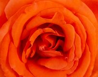Free Orange Rose Flower Macro, Super Fine Details Captured Royalty Free Stock Image - 173325896
