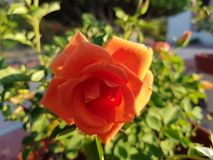 Orange rose flower in a park. Flower of thorny shrub, used in floral arrangements, ornamental plant with fragrance, ingredient by essence in oil for medicinal Stock Image