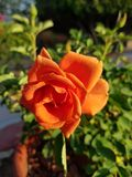 Orange rose flower in a pot with sunlight. Flower of thorny shrub, used in floral arrangements, ornamental plant with fragrance, ingredient by essence in oil for Royalty Free Stock Photography