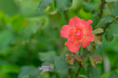 Orange rose flower with soft petals on a green blurred background Royalty Free Stock Image