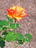Orange rose flower. On the soil flowerbed background stock photos