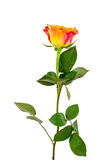 Orange rose flower on white background. Orange rose flower isolated on white background with clipping path royalty free stock photo