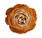 Orange rose flower. white isolated background with clipping path. Nature. Closeup no shadows. Nature royalty free stock photography