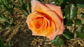 Orange Rose. Flowering Orange Flower Royalty Free Stock Photo