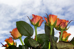 Orange rose flowers with a background. Of rose leaves and blue sky with white clouds royalty free stock photos