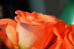 Orange rose flowers in country garden. Orange rose close up in community garden stock image