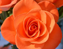 Orange rose flowers in country garden. Orange rose close up in community garden stock photo