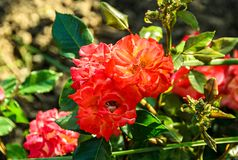 Orange rose flowers, green branch plant, bokeh background.  royalty free stock photos
