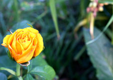 Orange rose Royalty Free Stock Images