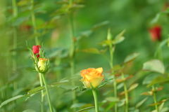 Orange Rose Flowers Plant. With Green Background royalty free stock image