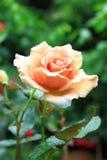 Orange Rose. Freshesning orange rose in the garden stock photos